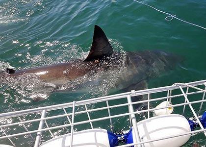 Shark Cage Diving near Gansbaai.